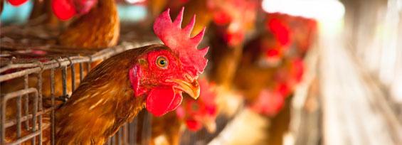produzione avicola