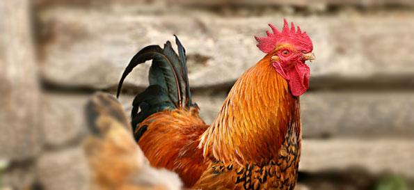 Ventilatori per polli